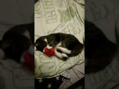 Manx cat and her catniptoy