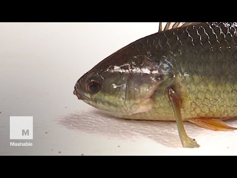 Southeast Asian Walking Fish Lives Up To Its Name | Mashable