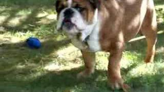 English Bulldog, Tank, Barking!!