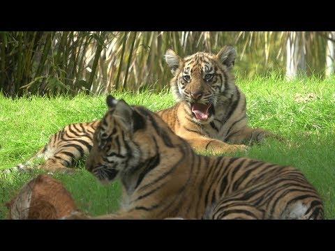 Baby Tigers At Disney