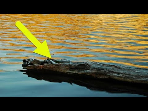 Fisherman Sees An Odd  Log  In The Lake Before Realizing It s A Creature That Needs His Help