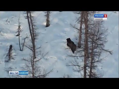 В Хакасии проснулись медведи. 12.04.2018