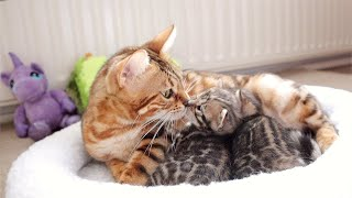 Mama Cat Calms her Meowing Kittens By Purring very Loud