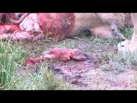 Lions kill pregnant warthog (unseen)
