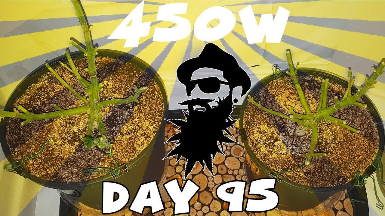 Meizhi 450w - White Widow Autoflower- Day 95 - HARVEST TIME