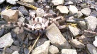 O ataque da Aranha  com ajuda do bicho humano