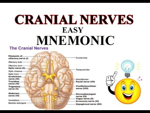 Cranial Nerves Mnemonic/easy to learn - YouTube