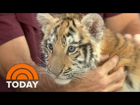 Bengal Tiger Cub, Playful Black Leopard Go Wild With Anchors | TODAY