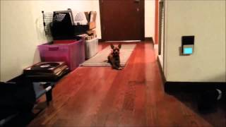 Min Pin Obedience On & Off Leash E-Collar Training- Take the Lead K9 Training