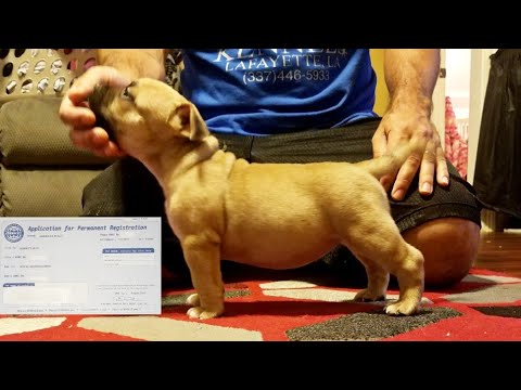 HOW TO REGISTER YOUR AMERICAN BULLY