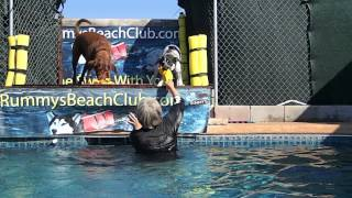 Chocolate Labrador Retriever Star & Cattle Dog Border Collie Mix Zaza Get Ready To Jump In Pool