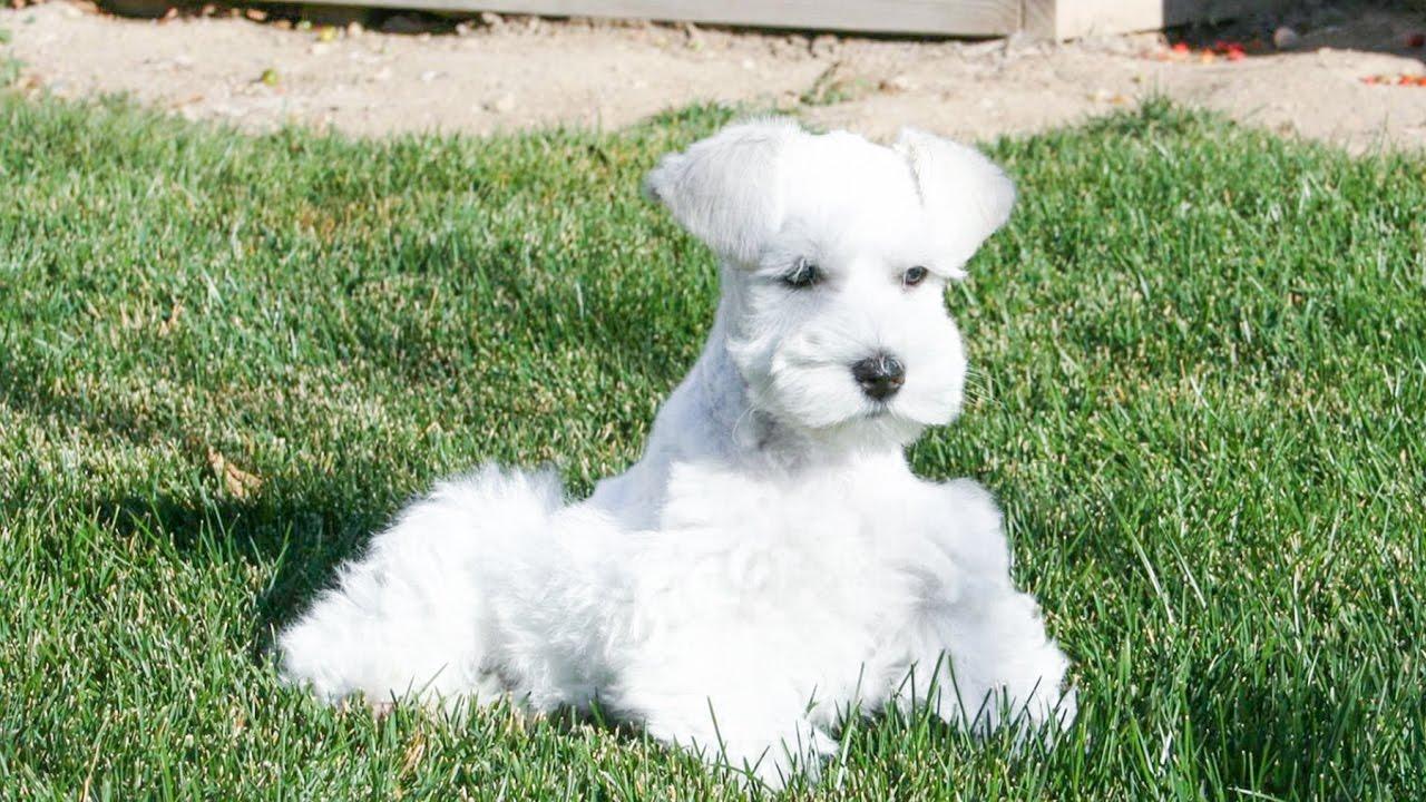 white miniature schnauzer in training at 11 weeks youtube