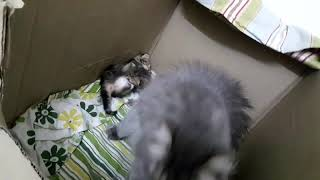 Persian cat jumping to reach her kittens