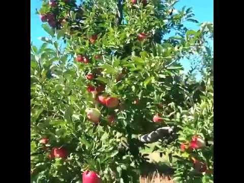 AZERBAİJAN - Apple Orchards