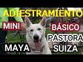 Adiestramiento de Maya, pastora Suiza