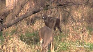Iowa White-tail Deer - Big 12 Point Buck in the Park