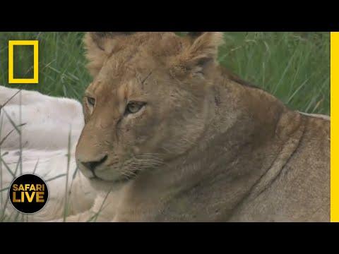Safari Live - Day 110 | National Geographic