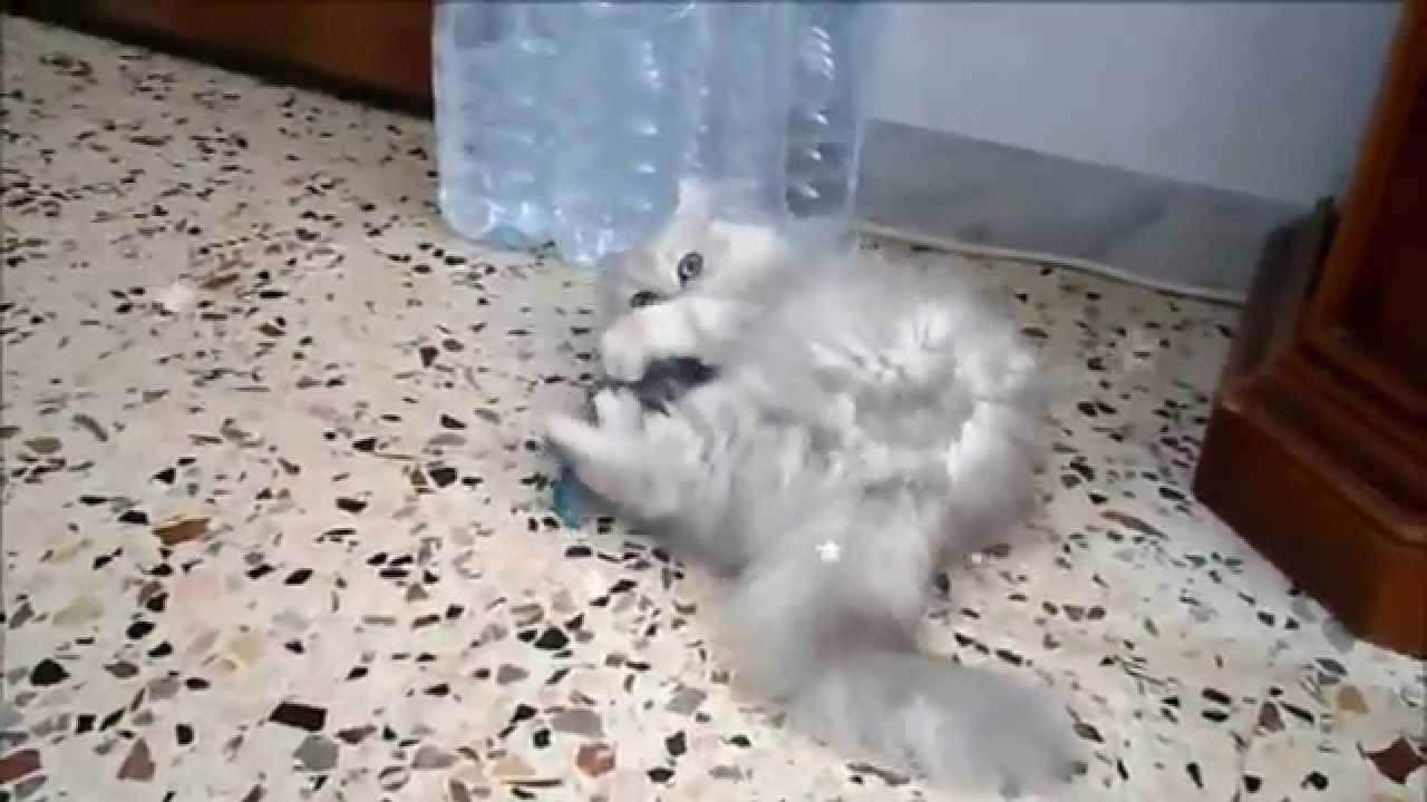 Cucciolo Di Gatto Persiano Chinchilla Che Gioca Youtube