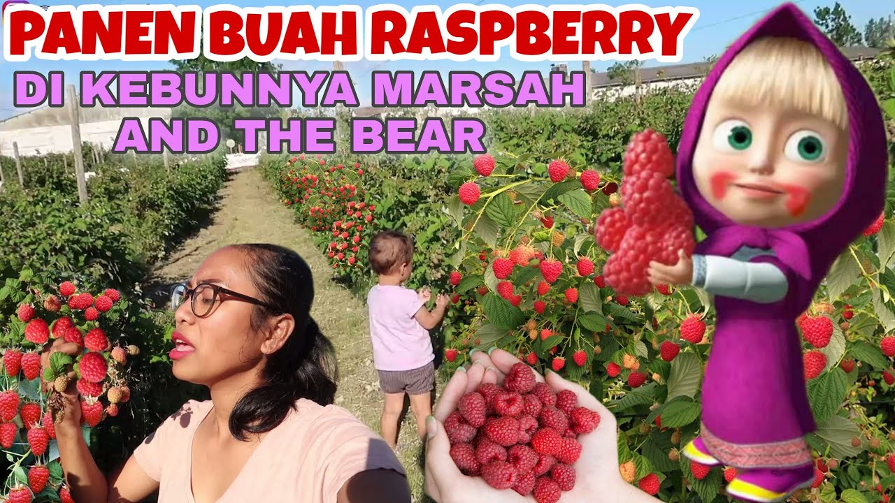 PANEN RASPBERRY, BUAH KESUKAANNYA MARSHA AND THE BEAR