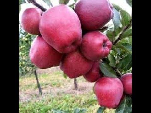 простая формировка деревьев для дачников/яблоня ред чиф
