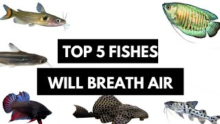 These Fish Do not Need Water Oxygen and They are Very Hardy...