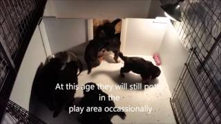 JB German Shepherds Beginning Potty Training 4 Weeks Old