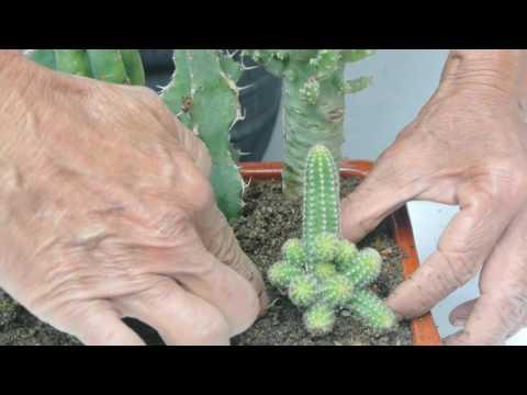 Los cactus, protectores de la PC