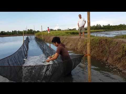 Seafood capital of the Philippines Bangus & killer snakes panay capiz milkfish