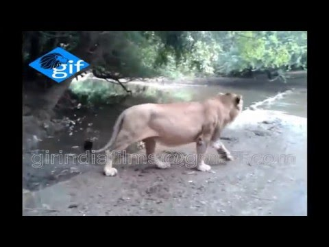 Unique Endangered dominant Asiatic lion drink water at Hiran river in central Gir forest INDIA