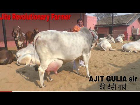 DESI COWS- Milk 20+Litre(A2Milk) -Gopalak AJIT GULIA Sir- District Jhajjhar, Haryana.. thumbnail