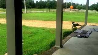 Balonla oynayan dünyanın en mutlu köpeği