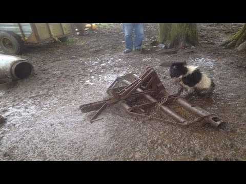 This Dog Was Chained Outside A Muddy Farm, But Take A Look At HOW He Lived