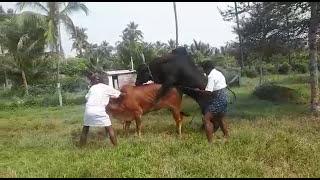 Karanpasu matting #Thalaivar Raja Nataraj