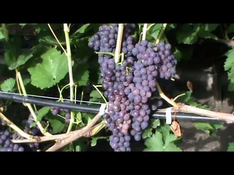 Кишмиш Канадис (Canadice grapes) - ранний и зимостойкий