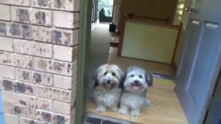 Havanese dogs. Crazy run in the park.