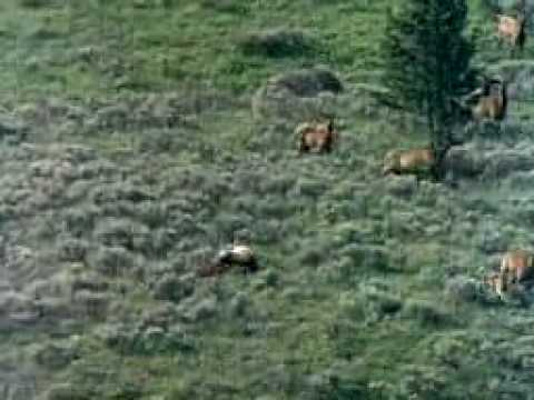 World largest meat eating land animals- The Big brown Bears.MOV