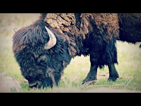 Bison | Iowa Ingredient