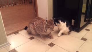 Домашняя рысь.....кошки ..они все кошки))))