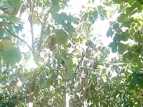 Plantation teak trees in Bolivia.