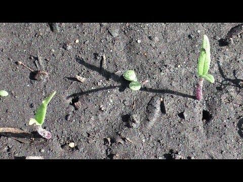 Безрассадные помидоры взошли через 10 дней после посева в грунт