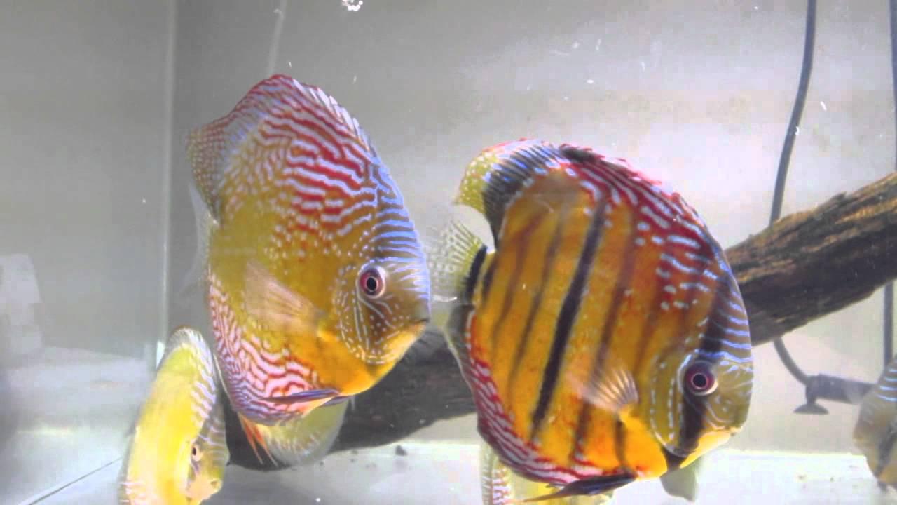 Wild Discus Fish Tank