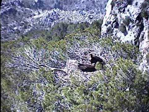 Black Vulture Nestcam #5: Improving the Nest