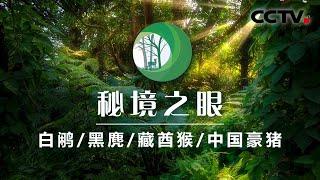 《秘境之眼》 白鹇/黑麂/藏酋猴/中国豪猪 20200702| CCTV