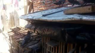 Kandang Merpati Sederhana ( Simple livestock pigeons )