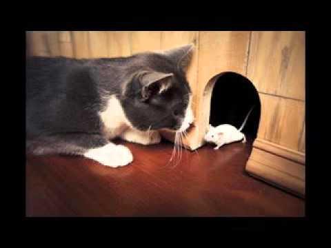 Cat sound catch Mouse- tiếng mèo kêu khi bắt chuột