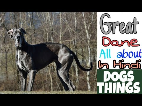 Great Dane Dog - all about in Hindi | Popular Dogs | DOGS THINGS