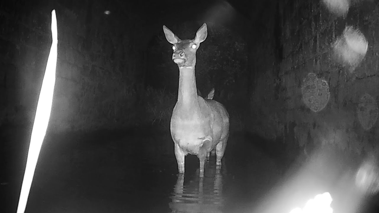 A mother deer with baby fawn crossing the river in the tunnel. HD.