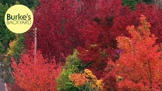 Burke's Backyard, Best Autumn Trees