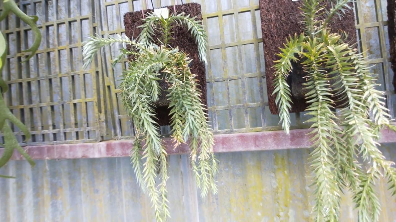 Lycopodium phlegmaria L. 蕨類植物 石松盆栽 - YouTube