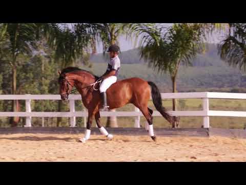 Lote 04  -Eclipse do Arete - Cavalos puro sangue Lusitanos - Coudelaria aguilar